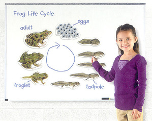 [EDU 6041] 특대형 자석 개구리 일생 모형 Giant Magnetic Frog Life Cycle