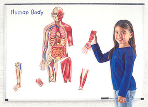 [EDU 6044] 자석 양면 인체 모형 Double-Sided Magnetic Human Body